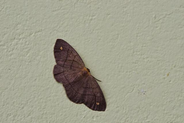 Sterrhinae : Semaeopus sp. Mount Totumas, 1900 m (Chiriquí, Panamá), 20 octobre 2014. Photo : J.-M. Gayman