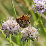 Mellicta athalia (ROTTEMBURG, 1775), femelle. Les Hautes-Lisières (Rouvres, 28), 17 juillet 2013. Photo : J.-M Gayman
