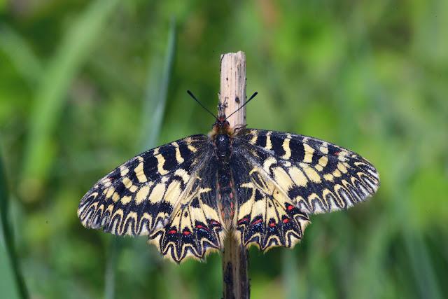 Zerynthia cassandra (GEYER, 1828), femelle. Parco Naturale Monti Livornesi (Toscane), 11 avril 2014. Photo : L. Voisin