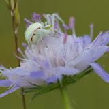 Thomisidae : Misumena vatia (CLERCK, 1757).  Hautes-Lisières (Rouvres, 28), 8 juillet 2012. Photo : J.-M. Gayman