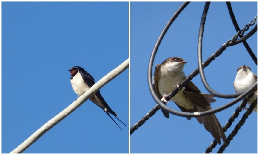 [Swallow+and+House+Martins%5B3%5D]