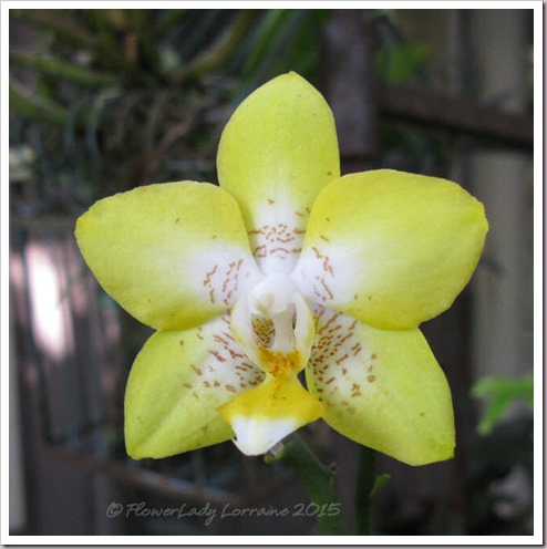 09-25-sunflower-phal