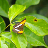 Adelpha cytherea LINNAEUS, 1758. Piste de Coralie (Guyane). 26 novembre 2011. Photo : J.-M. Gayman