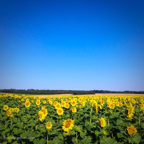 French Village Diaries #LazySundayinFrance a walk in the sunflowers