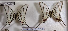 E. EPIDAUS EPIDAUS.JPG