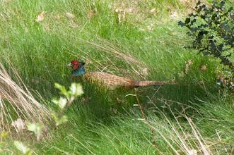 Photo: Common Pheasant (Fasan); Hamburg, DE
