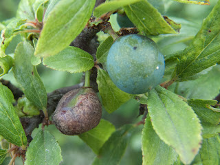 Sloe infected with Taphrina pruni (left) and uninfected (right)