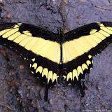 Heraclides astyalus astyalus (GODART, 1819) (= Papilio lycophron lycophron HÜBNER, 1818), mâle. Pitangui (MG, Brésil), 2 janvier 2010. Photo : Nicodemos Rosa