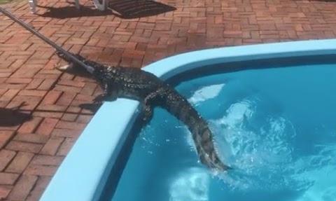 SUSTO! Jacaré é resgatado em piscina e devolvido a natureza em Rio Grande.