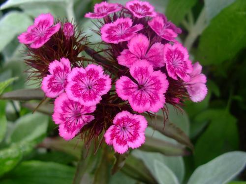 Fiori piante e giardini del mondo il garofano dagli for Immagini fiori autunnali