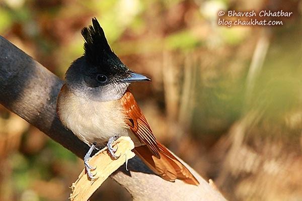 Asian Paradise Flycatcher [Female - Juvenile]