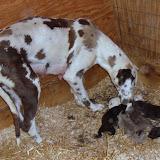Serena & Jaspers 5-13-12 litter - SAM_3495.JPG