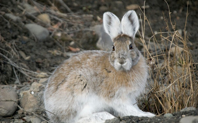 Snowshoe Hare in transitional colouring
