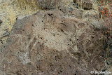 A large fat bellied bighorn petroglyph, common style of the Coso people.