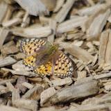 Argynnis aglaja (= Speyeria aglaja) (L., 1758, femelle. 1250 m, Paulhac-en-Margeride (Lozère), 19 août 2013. Photo : J.-M. Gayman