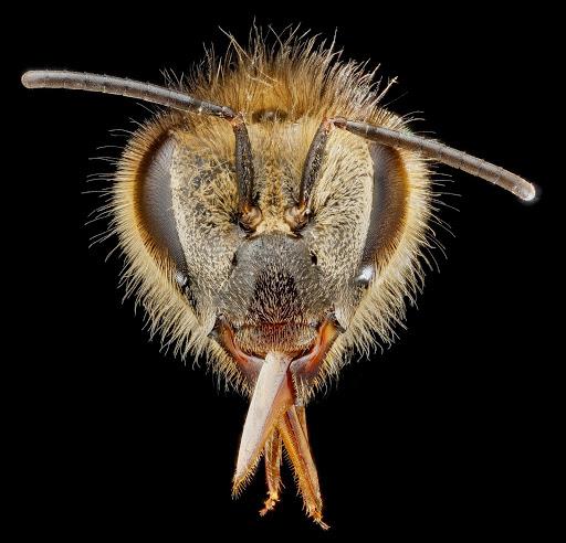3-honeybee-head-1600.jpg