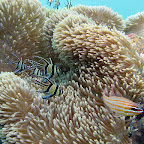 Cardinalfish (Secret Bay, North Bali)