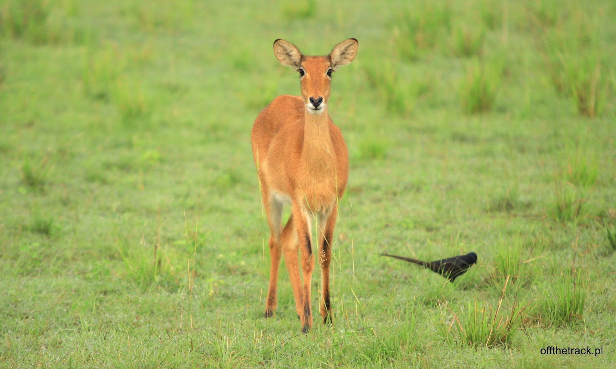 Antylopa Oribi na sawannie, park narodowy Murchison Falls, Uganda