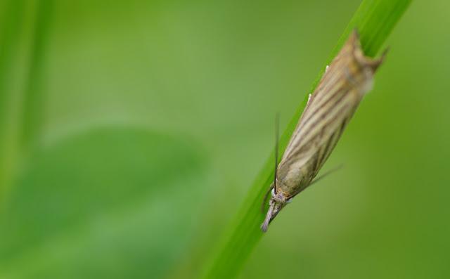 Crambidae : Crambinae : Chrysoteuchia culmella (LINNAEUS, 1758). Les Hautes-Lisières (Rouvres, 28), 15 juin 2012. Photo : J.-M. Gayman