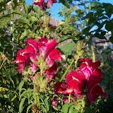 Gardening 2012 - 115_2668.JPG