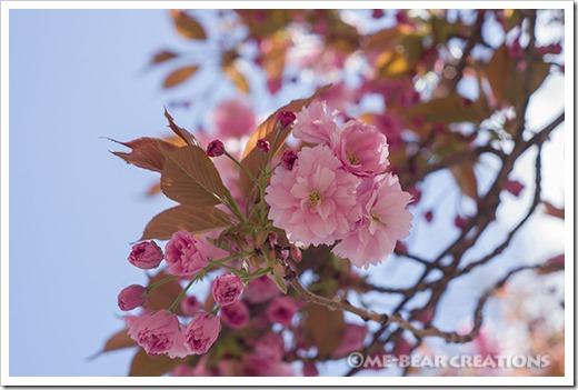 Cherry_blossom-02