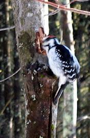 Hairy Woodpecker Jan 18 2008-2.jpg