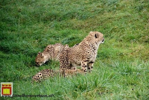 cheetahs vieren hun eerste verjaardag Zoo Parc Overloon (23) 11-11-2012.JPG