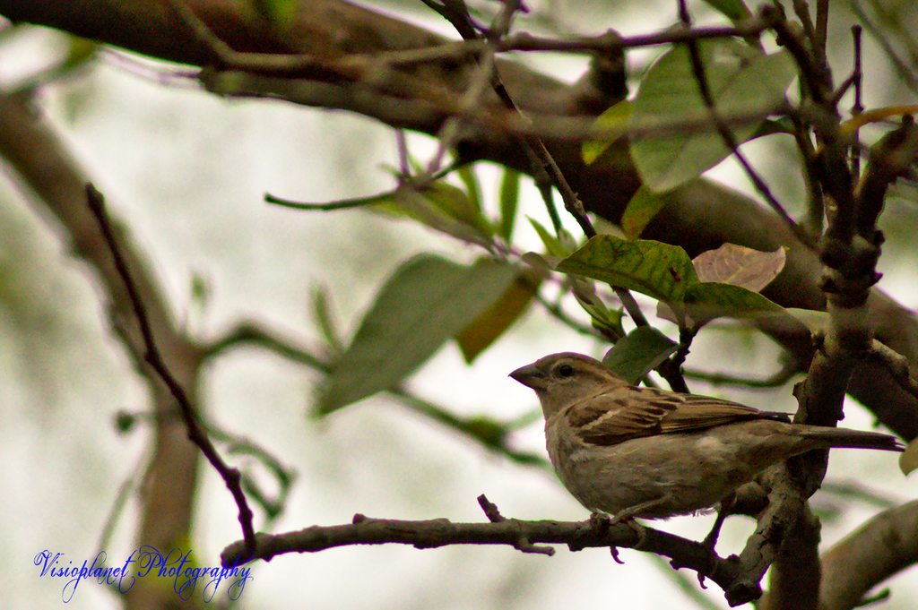 Jill Sparrow by Sudipto Sarkar on Visioplanet