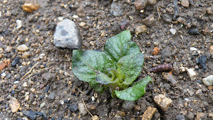 ジャガイモの芽