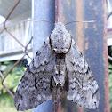 Convolvulvus Hawk-moth