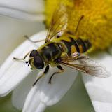 Syrphidae : Meliscaeva cinctella, mâle. Les Hautes-Lisières (Rouvres, 28), 14 juin 2012. Photo : J.-M. Gayman