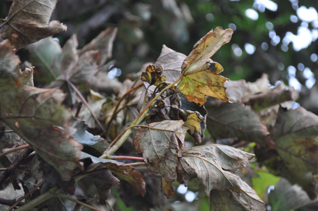 Withered leaves on a tree in the Lake District and Scotland's island of Islay, September 2016. Photo: Gail Zawacki