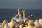 JEU D'ESCRIME L'escrime, voilà les bisous que les fous de bassan se font quand il se retrouvent au nid !