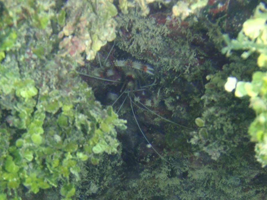 Stenopus hispidus (Banded Coral Shrimp), Rarotonga.
