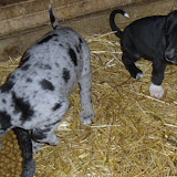 Gretta & Cobalt Blues 3/24/12 litter - SAM_3428.JPG
