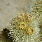 Bloemen van de Cholla cactus