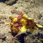 Frogfish (Malapascua)