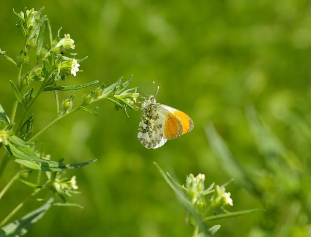 Anthocharis cardamines LINNAEUS, 1758, mâle. Combe de l'Air, Forêt de Châtillon (Côte d'or), juin 2006. Photo : J.-M. Gayman
