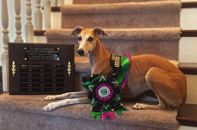 Fox - Cali Spirit of Red Vixen at Crossfyre - 2015 AKC NLCC BOB Finalist