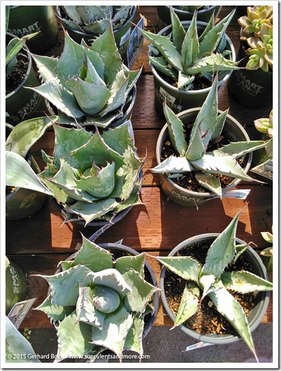 151018_HomeDepot_agaves_002