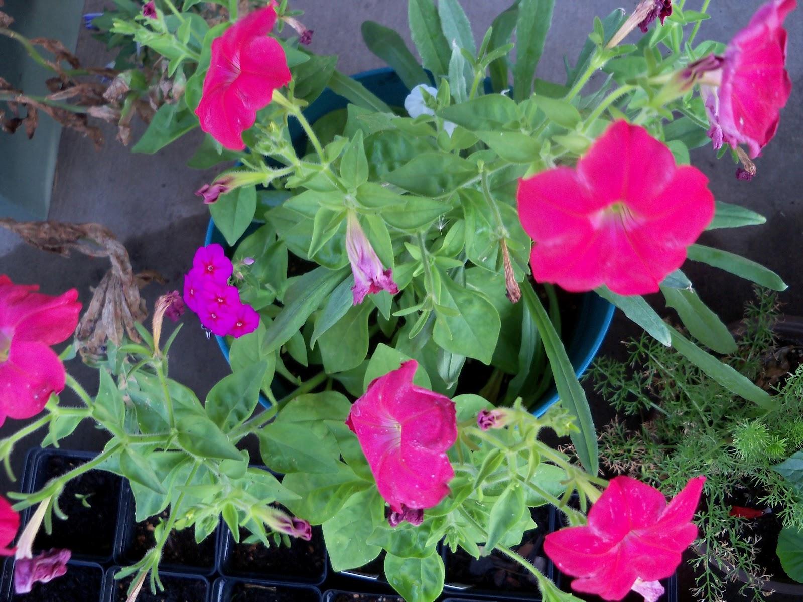Gardening 2012 - 115_2621.JPG