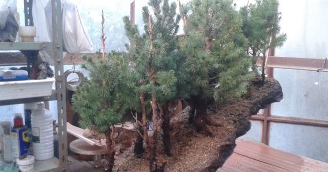 Cultivo f cil del bonsai bonsai bosque inclinado paso a paso - Cultivo del bonsai ...