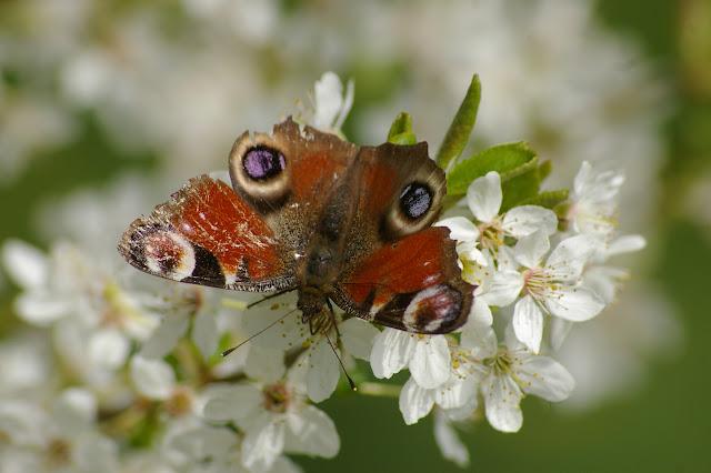"""Inachis io LINNAEUS, 1758, """"frotté"""" sur fleurs de prunier, dans le jardin. Les Hautes-Lisières, 3 avril 2009. Photo : J.-M. Gayman"""