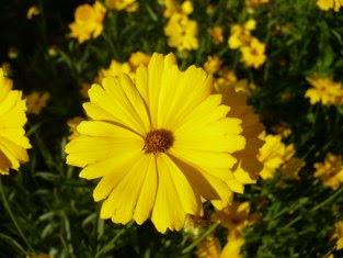 Nachyłek okółkowy Coreospis grandiflora