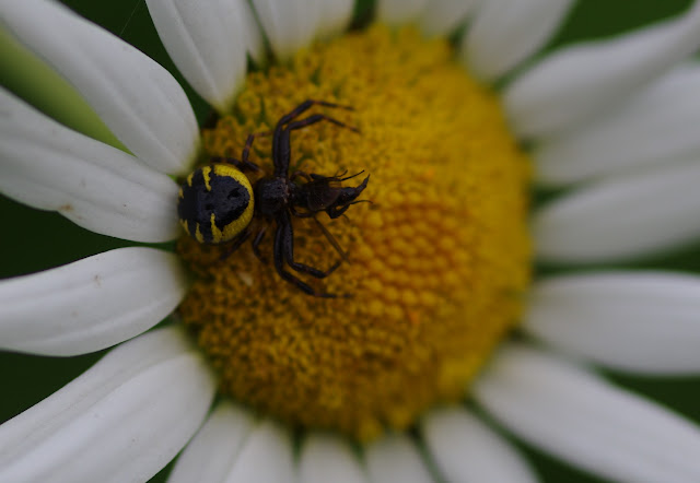 Thomisidae : Synema globosum (FABRICIUS, 1775). Les Hautes-Lisières (Rouvres, 28), 16 juin 2012. Photo : J.-M. Gayman