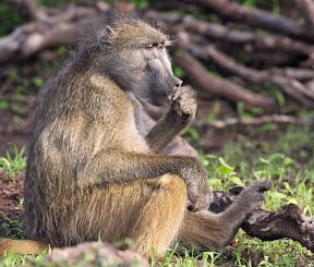 Baboon, Botswana