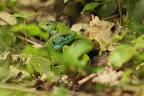 OH MON LÉZARD !?     Lézards verts au printemps? pendant la période de reproduction