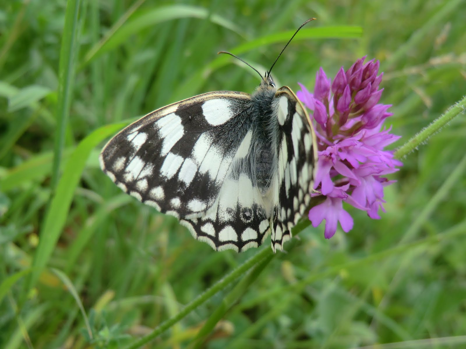 CIMG8862 Marbled white on pyramidal orchid