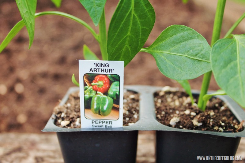 pepper plant king arthur