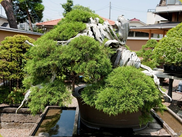 Manseien-bonsai-1000years-old